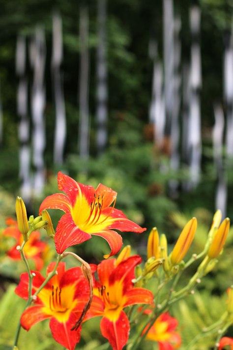 Tiger-Lilies-LR