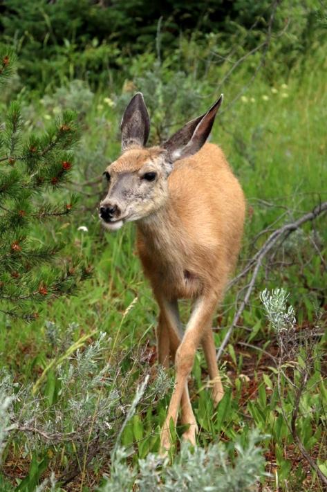 IMG_4759-GrandTetons-Deer