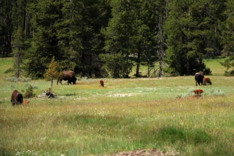 IMG_4768-YellowStoneBuffalo