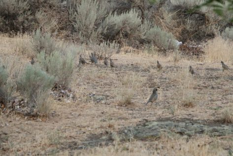 Quail-Eastern-Washington