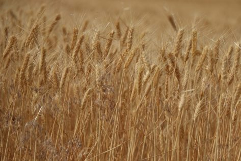 wheat-field-washington-state