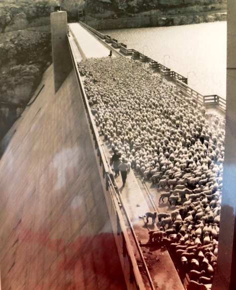 Sheep crossing over the Grand Coulee Dam Historical Archive