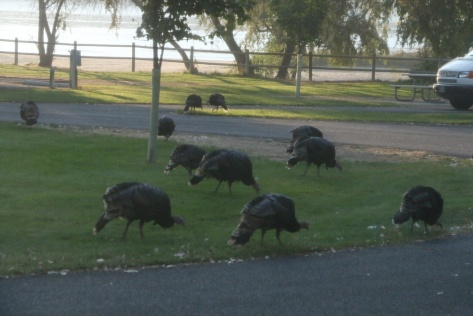 Wild Turkeys Grazing at Steamboat State Park in Washington